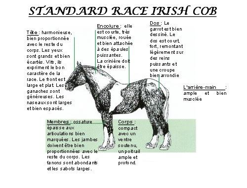 Standard irish cob 3